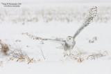 SnowyOwl080203_1_750.jpg