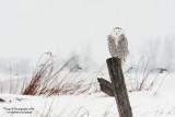 SnowyOwl080203_4_800.jpg