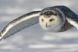 SnowyOwl080216_8_750.jpg