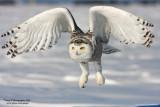 SnowyOwl080216_9_750.jpg
