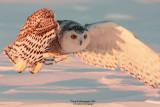 SnowyOwl080216_11_800.jpg