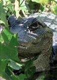Alligators don't prey on people