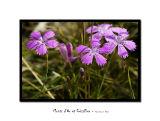Flower of the fields 2
