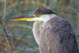 Heron Closeup 19327