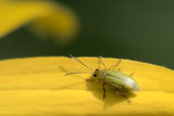 Tiny Bug On A Black-eyed Susan 19724