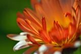 Orange Flower Closeup 20080913