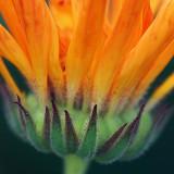 Orange Flower Closeup 20080915