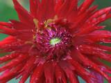Big Red Flower 19926