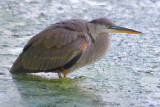 Heron In The River 20279
