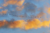 Geese Flying South 20455