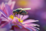 Fly On A Pink Flower 20804