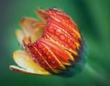 Wet Orange Flower 20080927