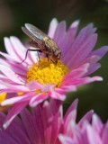 Fly On A Pink Flower 21355