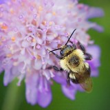 Bumble Bee On A Purple Flower 21041