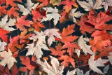 Floating Fall Maple Leaves 21664