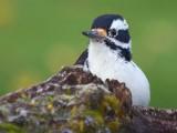 Peek-a-Boo Woodpecker 21867