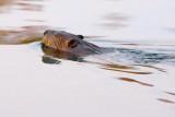 Swimming Beaver 22034