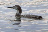 Loon In The Lake 22826