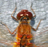 Red Dragonfly 22991