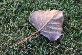 Frosty Leaf 23194
