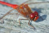 Red Dragonfly 22972