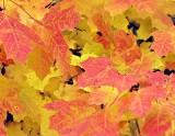 Fall Foliage 24181