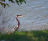 Heron Beside The Cumberland River 24502