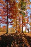 Backlit Autumn Trees 24548