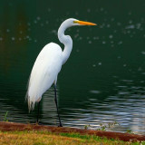Great Egret 20081113