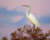 Egret In A Tree 20081114