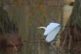 Egret In Flight 25553
