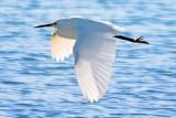 Snowy Egret In Flight 25676