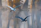 Egret & Heron In Flight 26214