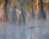 Egret & Heron In Flight 26216