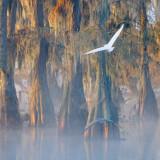 Egret & Heron In Flight 26217