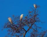 Three Egrets In A Tree 26248