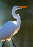 Backlit Egret 20081118