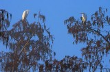 Two Perched Egrets 26260