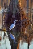 Egret Beside A Cypress 26442