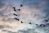 Flock Of Roseate Spoonbills In Flight 26854