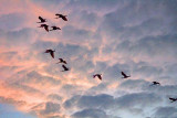Flock Of Roseate Spoonbills In Flight 26855