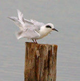 Ruffled Tern 28275