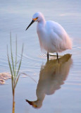 Snowy Egret Hunting At Sunrise 20081130
