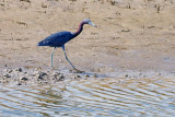 Little Blue Heron 28629