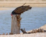 Turkey Vulture Wiping Its Bill 29451