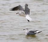 Gulls - Flying & Swimming 29481