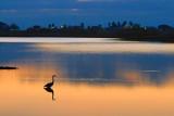 Dawn Heron 29521