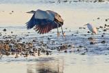 Heron Taking Wing 30014