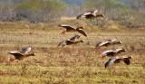 Geese In Flight 30204 (crop)