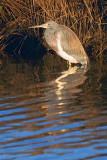 Hunkered Heron 30523
